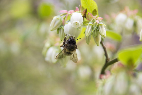 bee pollinating a blueberry bush