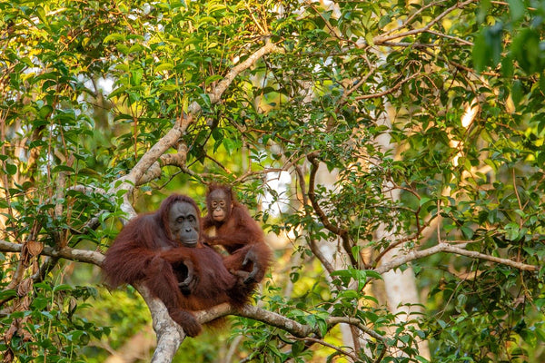 orangutans in a forest in Indonesia