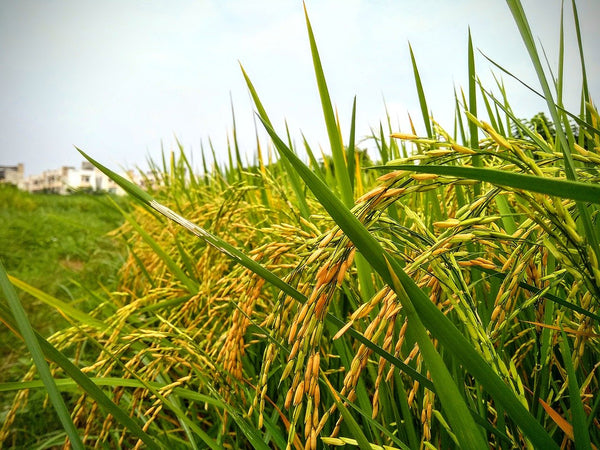 brown rice paddy