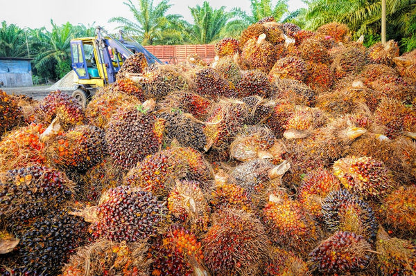 harvest palm oil in Indonesia