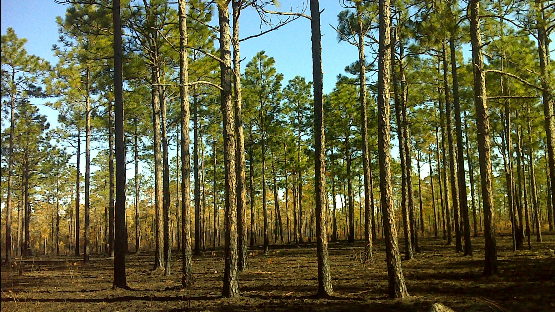 Paulding Wildlife Long Leaf Pine Restoration