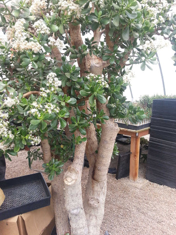 Crump greenhouse large Jade tree
