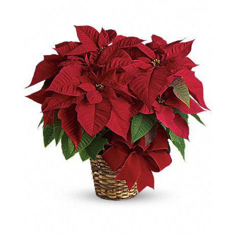 Poinsetta Holiday Plant