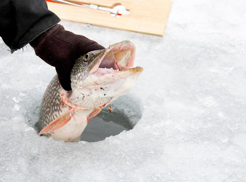 Northern Pike pulled up through ice fishing hole