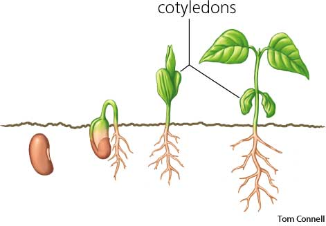 cotyledon vs true leaves