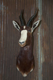 ~SOLD~ Blesbok Antelope Mount