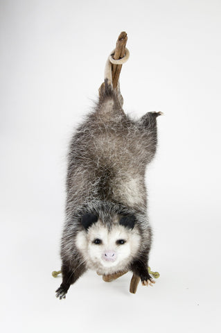 Tree Limb Hanging Opossum Mount