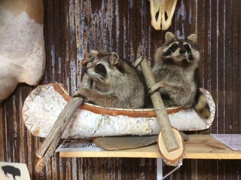 Double Raccoons In A Canoe