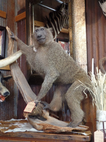 *SOLD* Baboon Mount