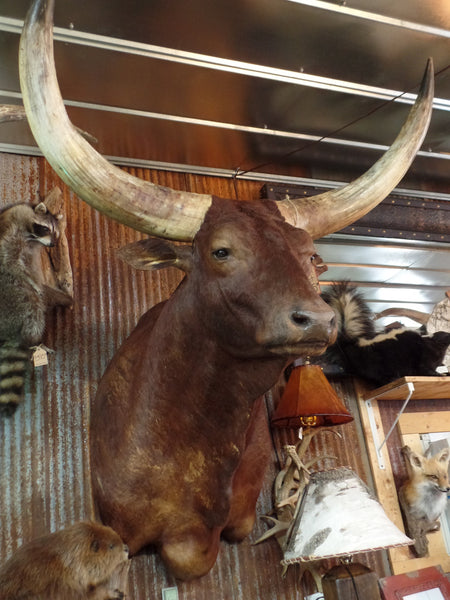Sold Watusi Bull Mount Yee Haw Ranch Outfitters