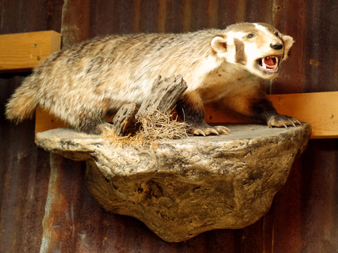 American Badger Mount