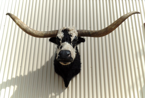 *SOLD* Longhorn Mount NBLW12