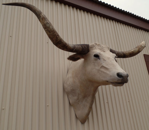 *SOLD* Longhorn Mount  CCRM32