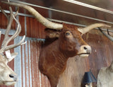 *SOLD*Longhorn Mount  SRED22