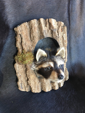 Raccoon Peeper Mount