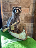 Raccoon In A Canoe