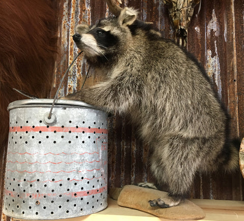 Raccoon With Minnow Bucket