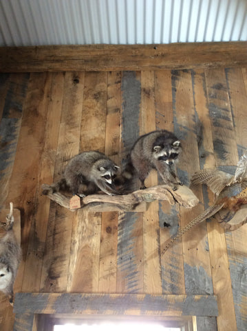 Two Raccoons on a branch