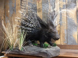 African Porcupine
