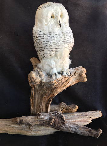 Reproduction Snow Owl Mount