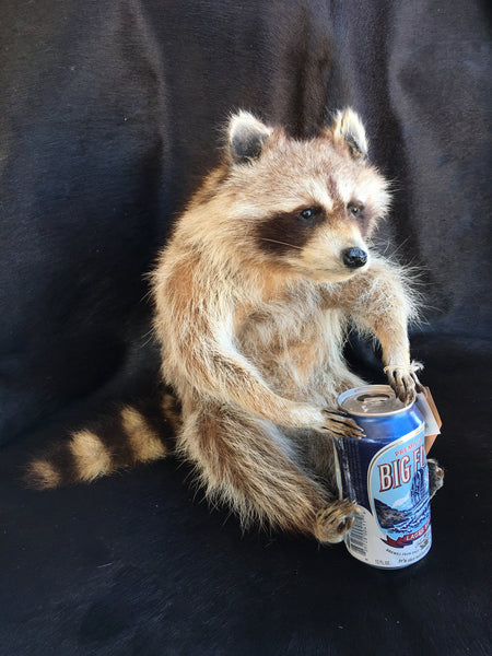 Raccoon With Big Flats Beer Mount Yee Haw Ranch Outfitters
