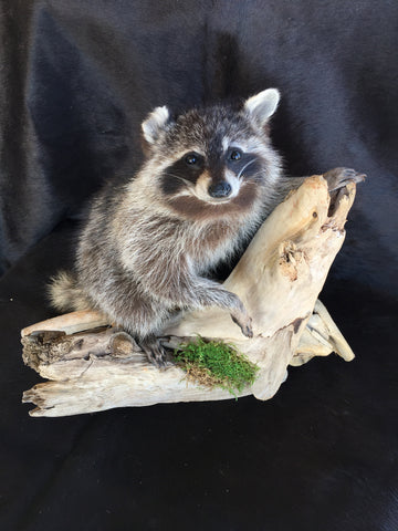 Small Tabletop Raccoon Mount