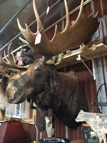 Moose Shoulder Mount