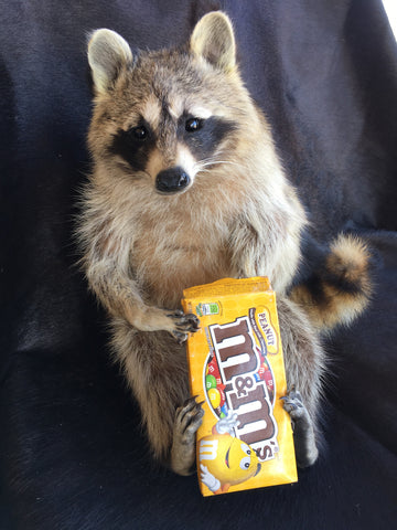 Raccoon With Peanut M&M's Candy Mount
