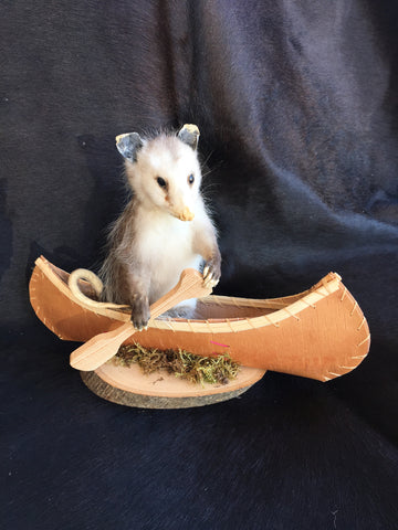 Small Opossum In A Canoe