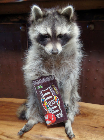 Raccoon With M&M's Candy Mount