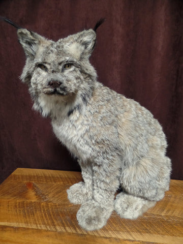 *SOLD* Sitting Lynx Mount