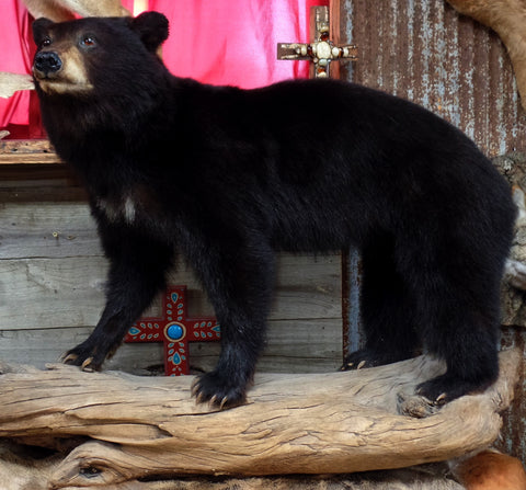 *SOLD* Black Bear Cub On Wood Mount