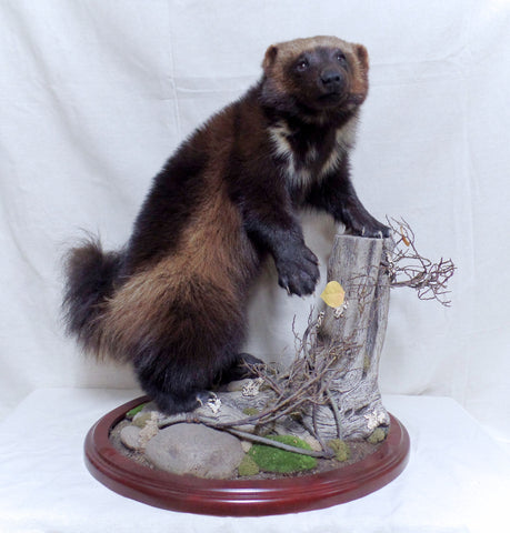 *SOLD* Standing Wolverine Mount