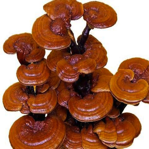 Pure Reishi Powder 250g