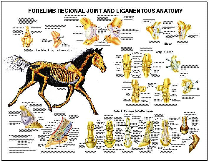 Forelimb Anatomy