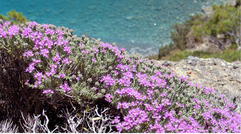 Thyme blossoms on a Greek island