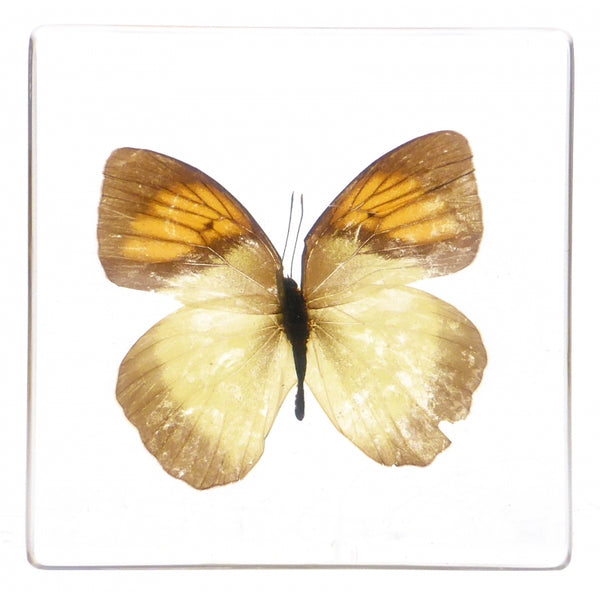 Bug Specimens - large - Butterfly