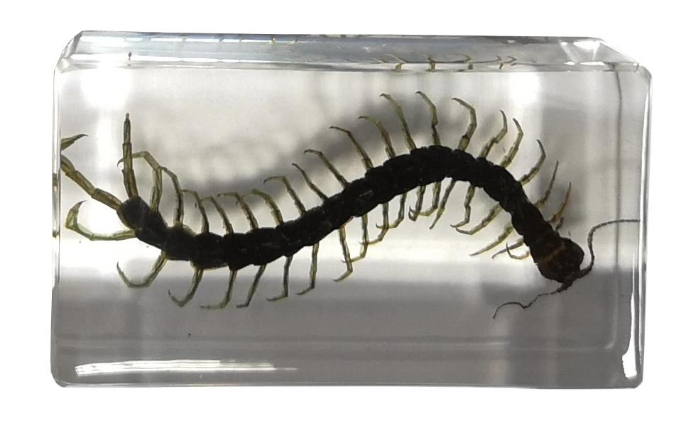 Bug Specimens - medium - Centipede