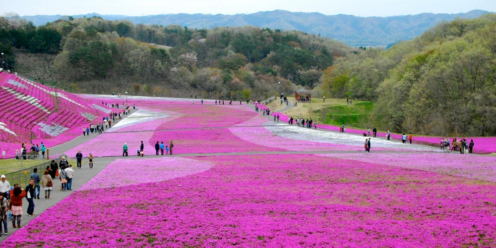 Takinoue Park in Hokkaido Japan is carpeted in pink moss every year from May to June.