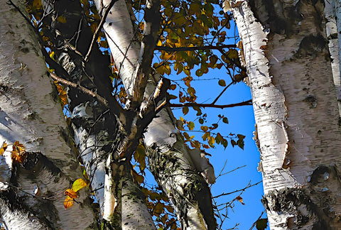 Birch Trees Against A Blue Sky