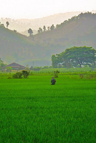 Rice Field Northern Thailand