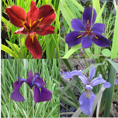 Hardy Iris Pond Plants