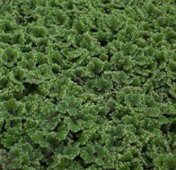 Azolla | Azolla caroliniana | Small Portion 1/4 LB.
