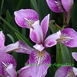 Deep Rose Iris | Versicolor Flag Iris