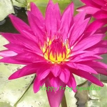 Red Tropical Water Lily | Grower's Choice | Available Spring 2021