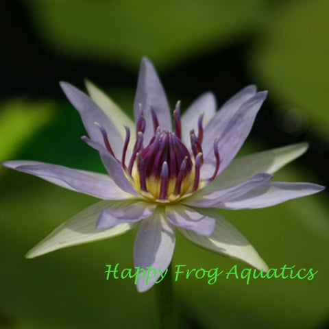 Colorata |Tropical Water Lily