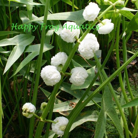 Double Flowering Arrowhead | Sagittaria japonica