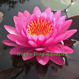Miss Siam | Dark Pink Hardy WaterLily