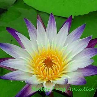Purple Joy | Tropical Water Lily