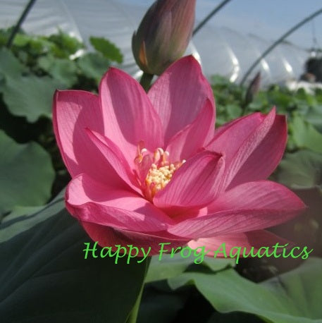 Red Sun Lotus | Hong Taiyang | Nelumbo nucifera